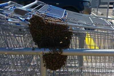 Bee swarm Aldi Mt Barker.jpg