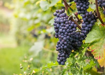 Grapes wine pixabay