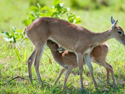 Pampas deer nursing fwan