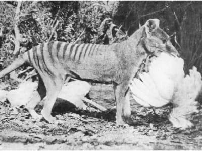 Thylacine chicken