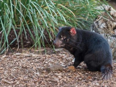 tasmanian-devil-3482304_1920.jpg