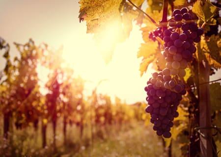 Vintners-secret-vineyard.jpg