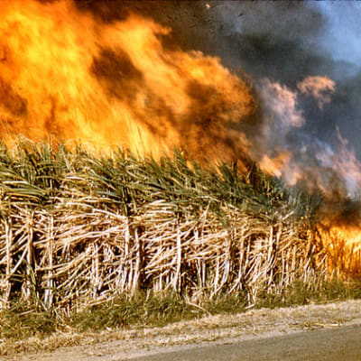 Burning off Sugar Cane  fields   Queensland, 1959