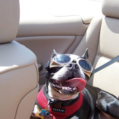 Oreo in the Convertible