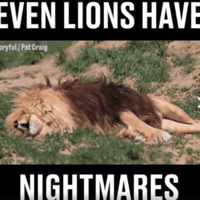 lionsleeping.png