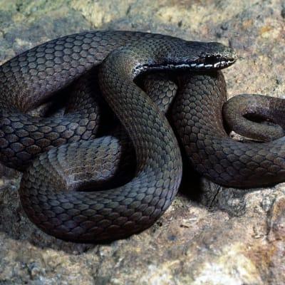 CSIRO ScienceImage 7486 Whitelipped Snake