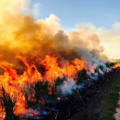 cane burn 2017