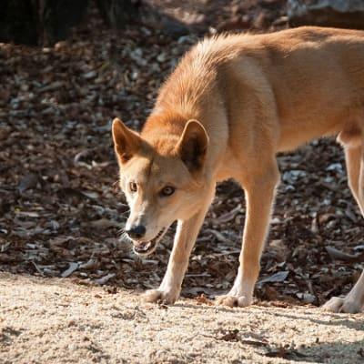 1200px-Dingo-northern-2.jpg
