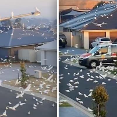 cockatoos takeover