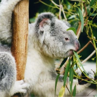 Koala_1_edit.jpg