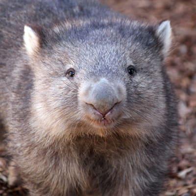 wombat 20101210000283856584 original