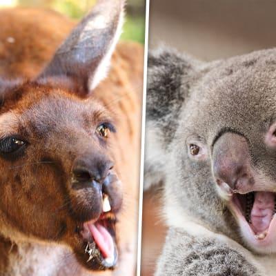 kangaroo vs koala