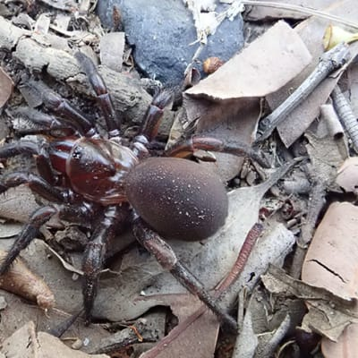 A supplied image obtained on Wednesday, July 8, 2020, shows a Cryptoforis hughesae spider among foliage in Brisbane. A new group of trapdoor spiders that build burrows hidden by camouflaged doors has been discovered in eastern Australia. One of the almost 20 new species found in this group occurs in the suburbs of Brisbane. (AAP Image/Supplied by Griffith University, Jeremy Wilson) NO ARCHIVING, EDITORIAL USE ONLY