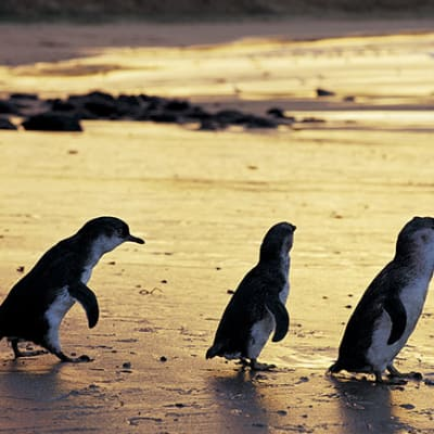 Handout pic of penguins, one of Victoria