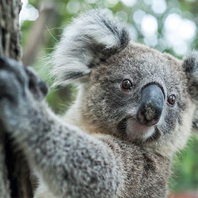 shutterstock 243393238 koala