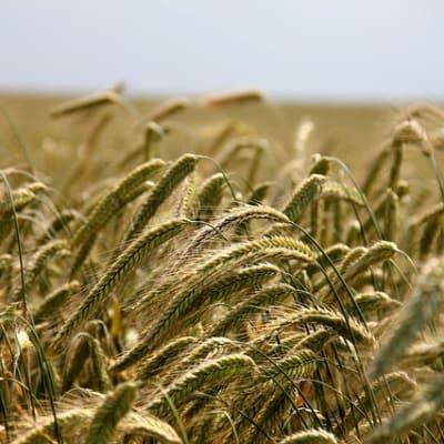 wheat 196173 640