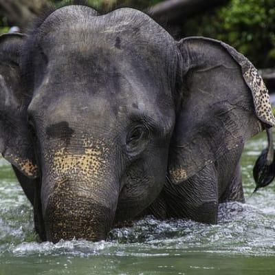 asian elephant 2439184 640