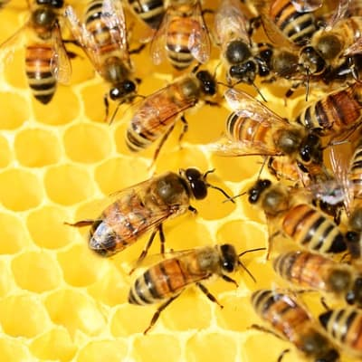 honey bees 326337 640