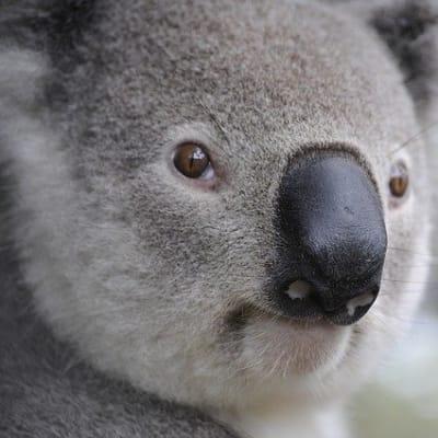 koala 630117 640