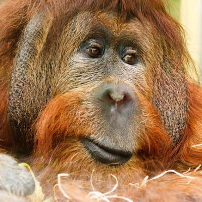 orangutan publicdomain