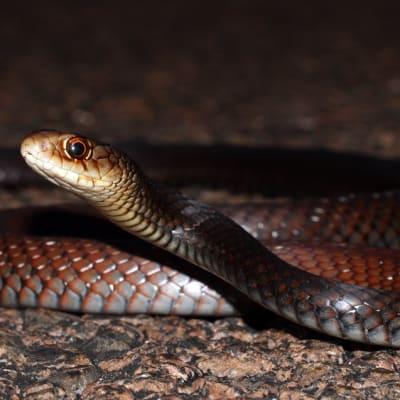 Lesser_Black_Whip_Snake_Demansia_vestigiata_8691236735.jpg
