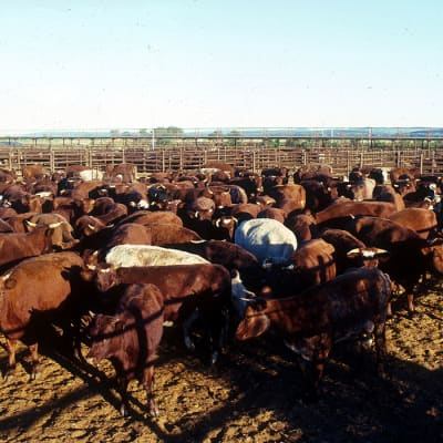 CSIRO ScienceImage 1678 Cattle in yard