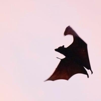 John_Mackenzien_4CA_Bats_Relocation_Program.jpg