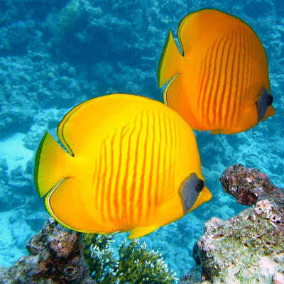 Reef-fish_zitronenfalter-PIXABAY-380037_1280.jpg