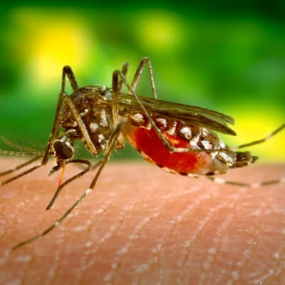 Dengue Mozzie