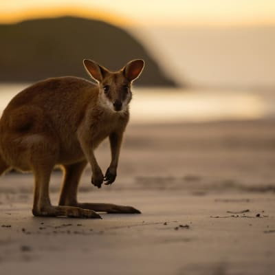 Mackay Tourism Wallaby