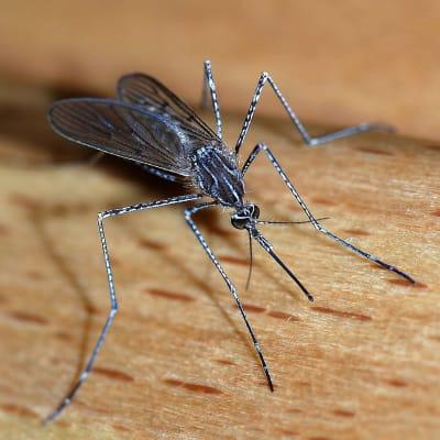 1024px-Mosquito_2007-2.jpg