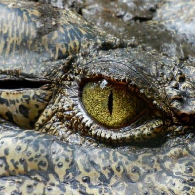 croc eye librestock