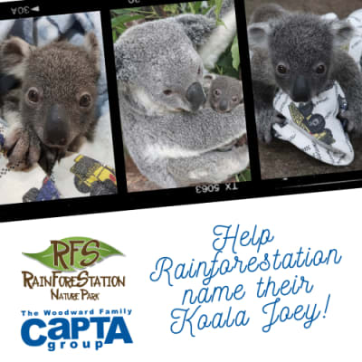 Rainforestation_koala_contest_1_1.png