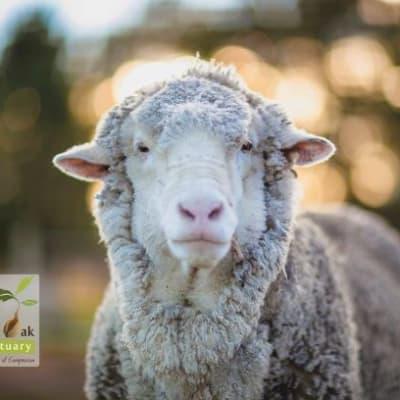 chris_the_sheep.jpg