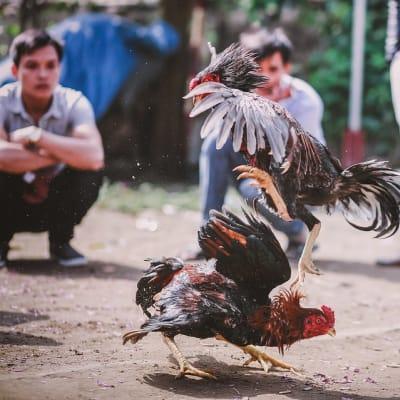cockfighting