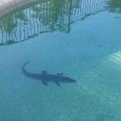 croc in pool.jpg