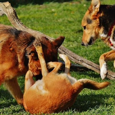 dog_fight.jpg