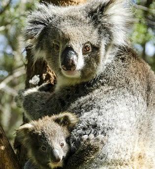 koalas good living content