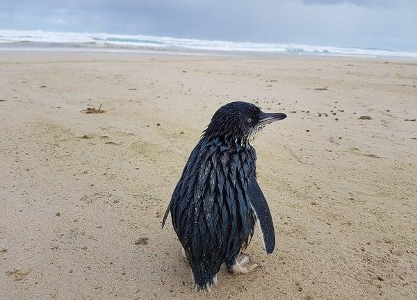 little penguin Credit Sam Everingham
