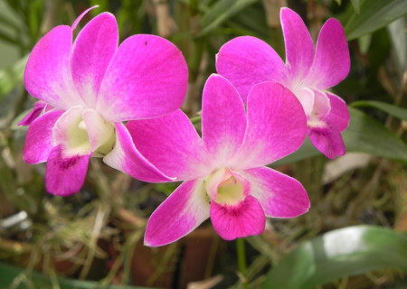 Orchids_from_the_Orchid_house_at_the_Peradeniya_Botanical_Gardens.jpg