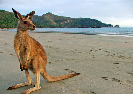 Kangaroo-at-Cape-Hillsborough.jpg