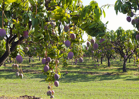 Mango-Farm-Mareeba.jpg