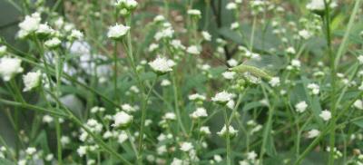 A Parthenium Weed Problem