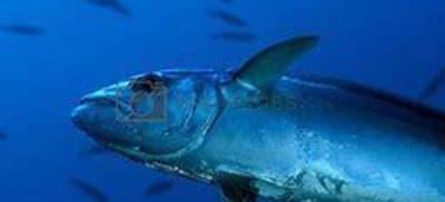 Tuna Fishing off the wild Far South Coast