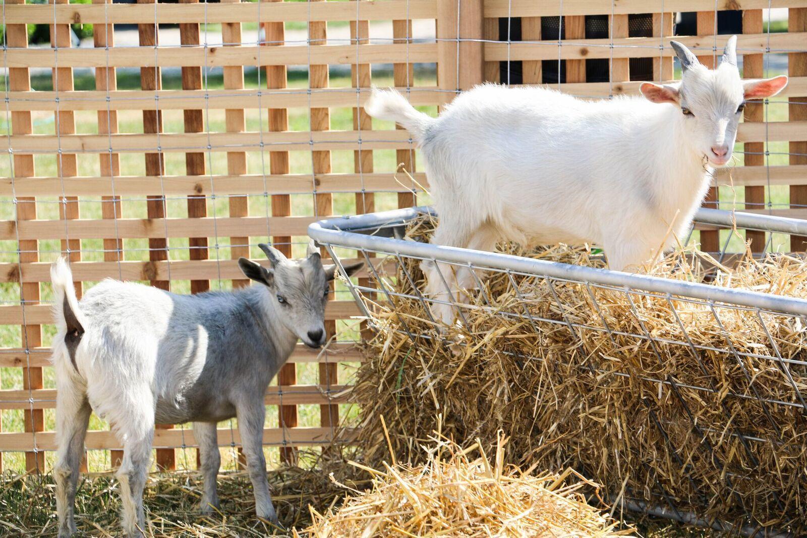 Gurney's Newport - William and Cornelius, the goats