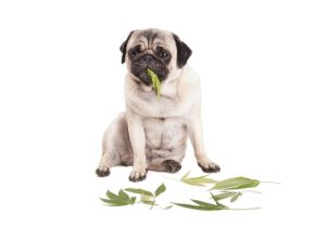 Marijuana and Your Pets: Is It Safe?