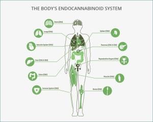 Cannabinoids 101: What are Cannabinoids?