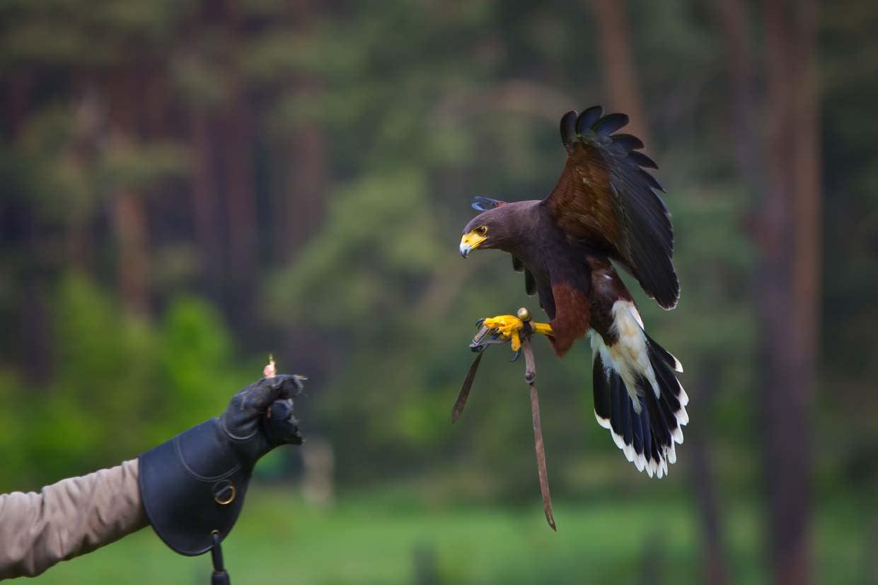 image falconry academy landing on glove 1200x800