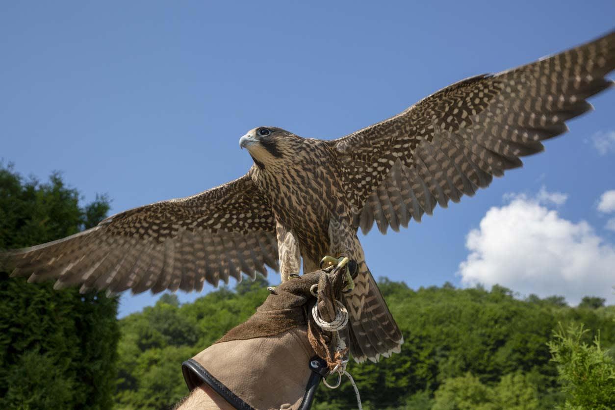 image falconry academy hawk 1200x800
