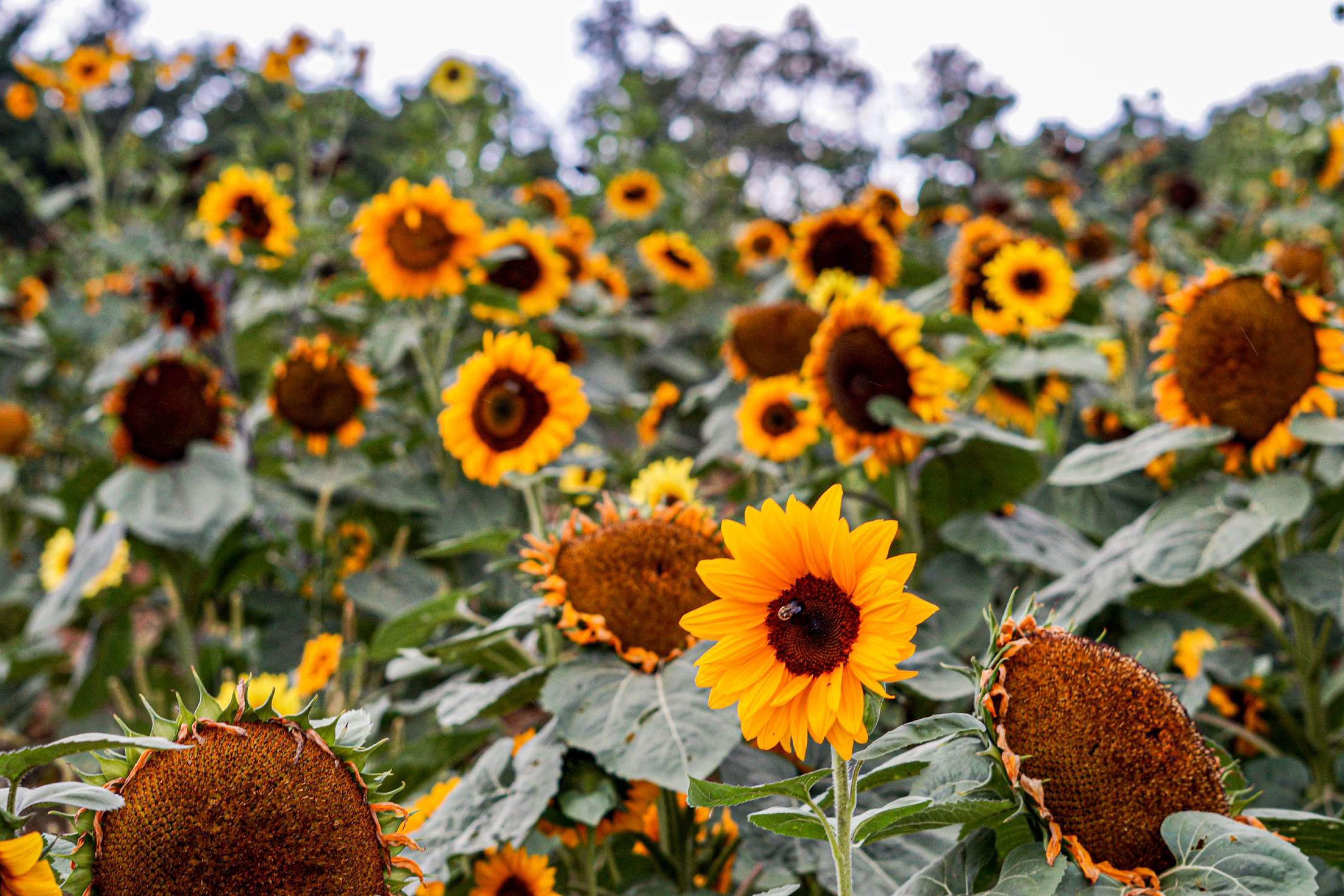 image hanna farmstead sunflower field 1200x800